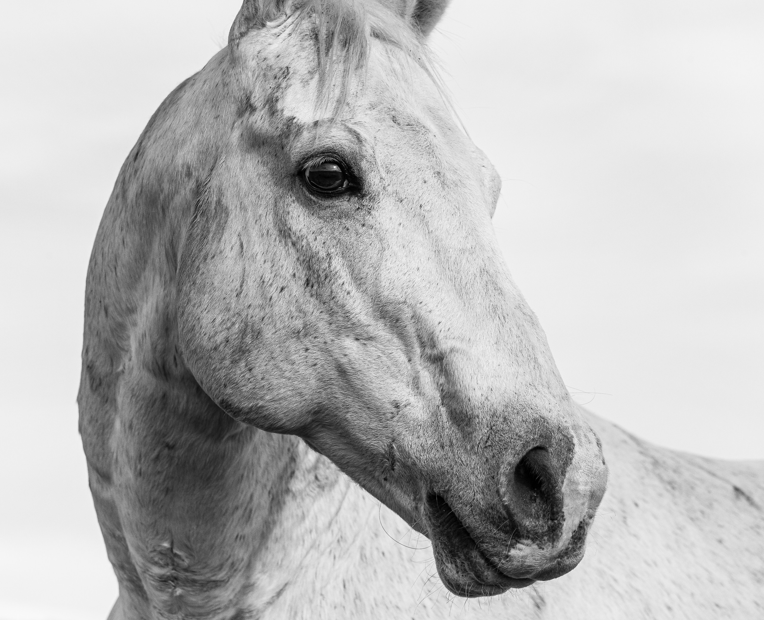 Alpha Stallion Portrait