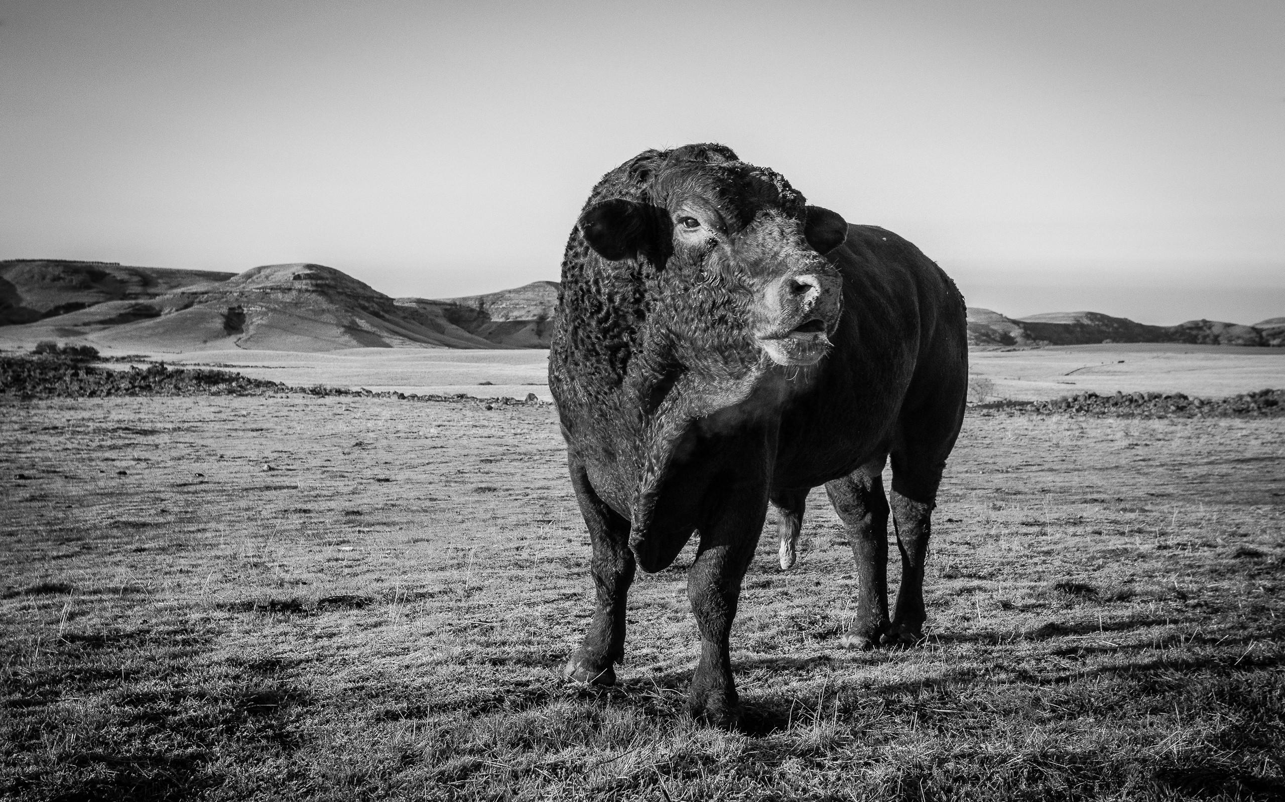 This Bull's Territory