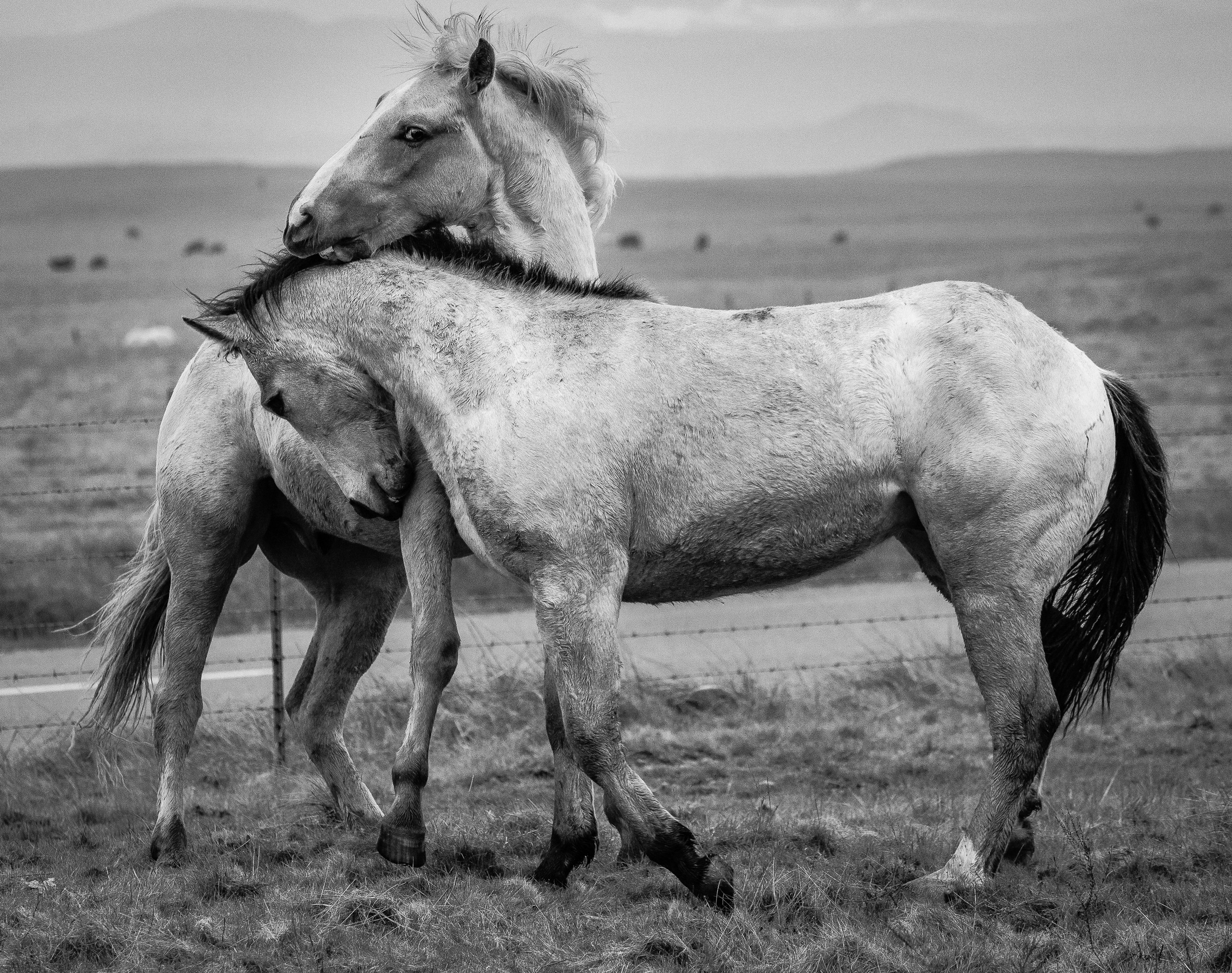Young Stallions At Play